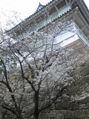 140330fukuyamasakura