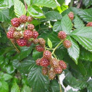 160701blackberry
